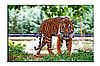 Картина на холсте Тигр (20х30)