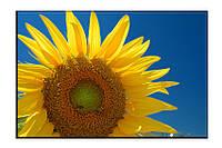 Картина на холсте Подсолнух (20х30)