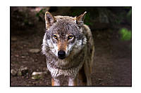 Картина на холсте Одинокий волк (20х30)