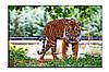 Картина на холсте Тигр (50х75)