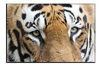 Картина на холсте Глаза тигра (50х75)