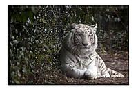 Картина на холсте Белый тигр (50х75)