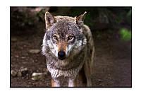 Картина на холсте Одинокий волк (50х75)