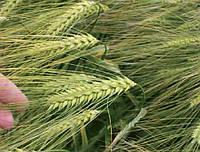 Семена озимого ячменя Герлах