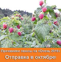 Саженцы малины сорт Полана (Polana), полуупакованные, фото 3