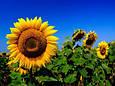Семена подсолнечника ЕС Флоримис, фото 2