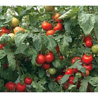 Семена томата Силует F1 \ Siluet F1 500 семян Syngenta