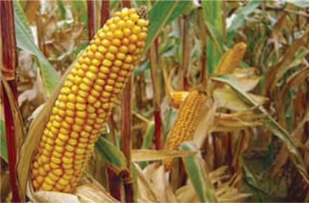 Семена кукурузы ЕС Зизу
