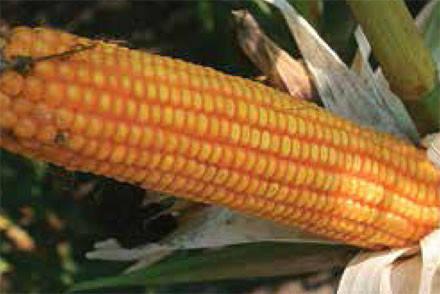 Семена кукурузы ЕС Сплендис