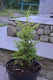 Ялівець звичайний Голд Коні L2 ( Juniperus communis Gold Cone ), фото 4