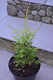 Ялівець звичайний Голд Коні L2 ( Juniperus communis Gold Cone ), фото 5