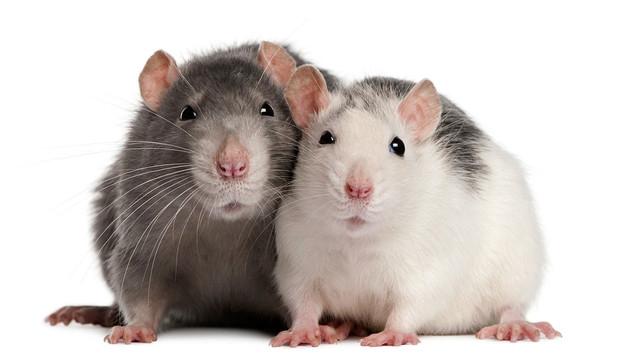 Ferplast RATATOUT 60 Стеклянная клетка для крыс