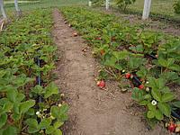 Рассада земляники садовой АЛЬБА, фото 1