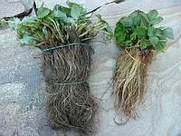 АЛЬБА ранняя РАСПРОДАЖА флянцев земляники садовой, фото 1