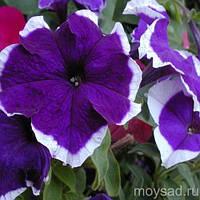 Petunia Hulahoop Blue