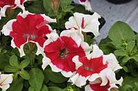 Petunia Hulahoop Red