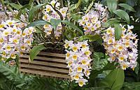 Саженцы дендробиум орхидея