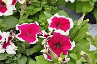 Petunia Hulahoop Rose
