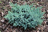 Можжевельник чешуйчатый Блю Стар Р9 (Juniperus squamata Blue Star), фото 1