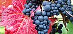 Иммуномодуляторы темных сортов винограда максимально усиливают иммунитет