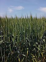 Озима пшениця Зорепад  элита. Надсильна, високоврожайна пшениця Аналог канадським сортам