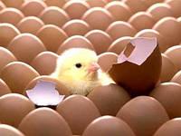 """Какой инкубатор купить для """"высиживания"""" яиц?"""