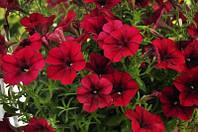 Petunia Crezytunia Red Blues