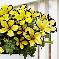 Petunia Crezytunia Jubilee