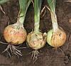 АВГУСТА - семена лука репчатого озимого, 1  кг  Moravoseed