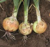 АВГУСТА - семена лука репчатого озимого, 1  кг  Moravoseed, фото 1