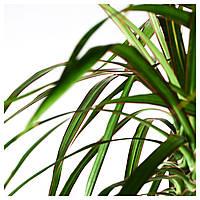 IKEA ДРАЦЕНА ОКАЙМЛЁННАЯ Растение в горшке, дракон дерево, 3-вал : 76804023, 768.040.23