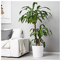 IKEA ДРАЦЕНА MASSANGEANA Растение в горшке, драцена душистая, 3-вал : 90166053, 901.660.53
