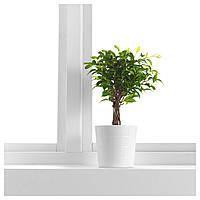 "IKEA FICUS BENJAMINA 'NATASJA' Растение в горшке, Фикус Бенджамина ""Наташа"" : 56804613, 568.046.13"