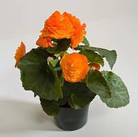 Fortune Apricot-Orange Shades