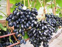 Виноград ранне-средний Надежда Азос