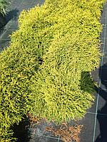 Кипарисовик Filifera Aiurea nana c10