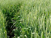 Семена озимой   пшеницы Куяльник 1 репродукции