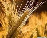 """Семена озимой пшеницы """"Статна"""" элита"""