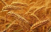 "Семена озимой пшеницы ""Глібовчанка"" 1 репр"