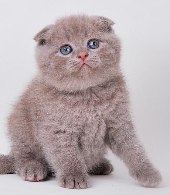 Котята британские вислоухие картинки