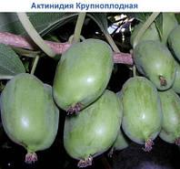 Саженцы актинидия аргута Киевская Крупноплодная в контейнере 0,5л