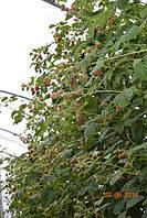 Радзиева малина (Radziejowa Raspberry) саженцы малины Радзиева купить!!!