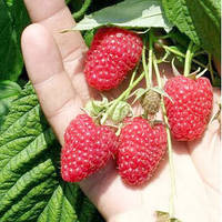 Соколица малина (Sokolica Raspberry) саженцы малины Соколица купить