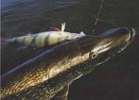 Ловля щуки на мертвую рыбку, невероятно но факт