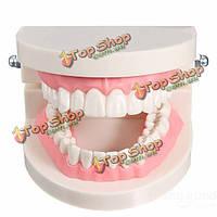 1 упаковка зубной стоматолог зубы зуб научить модель розовой мякоти десны