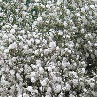 Гепсофила крупная белого цвета