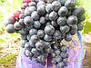 Саженцы универсального  винограда Красень