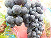 Саженцы  винограда  сорта  Антей  Магарачский
