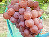Саженцы технического  винограда  Зигерребе