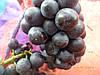 Саженцы  техническогго  винограда  Пино  нуар